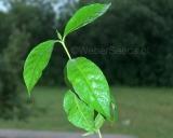 Tabernanthe iboga plant