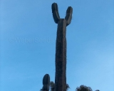 Trichocereus pachanoi, San Pedro