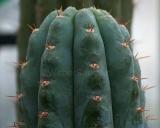 Trichocereus peruvianus, Peruvian San Pedro
