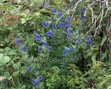 Aconitum napellus, True Monkshood