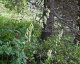 Aconitum lycoctonum, Wolfsbane