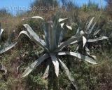 Agave americana, Mescalpflanze