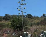 Agave americana, Century plant