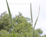 Alopecurus myosuroides, Slender meadow foxtail