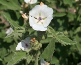 Althaea officinalis, Echter Eibisch