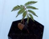 Anadenanthera peregrina, Yopo
