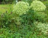 Angelica sylvestris, Wild angelica