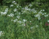 Anthriscus sylvestris, Cow parsley