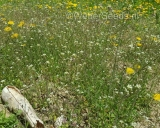 Arabidopsis thaliana, Thale cress