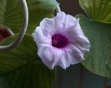 Argyreia nervosa, Kleine Holzrose (Hawaiian strain)