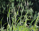Avena fatua, Common wild oat