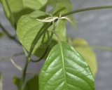 Banisteriopsis caapi, Yage