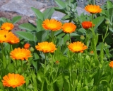 Calendula officinalis, Pot marigold