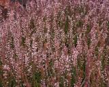 Calluna vulgaris, Besenheide