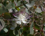 Capparis spinosa, Kappertje
