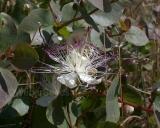 Capparis spinosa, Echter Kapernstrauch