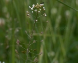Capsella bursa-pastoris, Shepherd's-purse