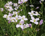 Cardamine pratensis, Cuckoo flower