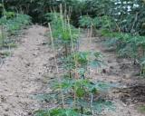 Carica papaya, Papaya