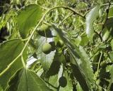 Celtis australis, Europese netelboom