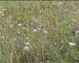 Centaurea jacea, Brown knapweed
