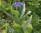 Centaurea montana, Bergcentaurie