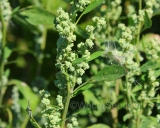 Chenopodium album, Lambs quarters