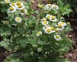 Chrysanthemum parthenium, Moederkruid