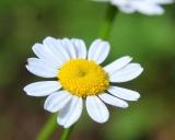 Chrysanthemum parthenium, Feverfew