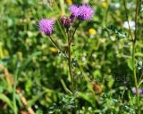 Cirsium arvense, Creeping thistle