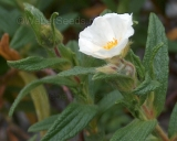 Cistus monspeliensis, Montpelier rock rose