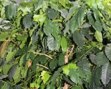Coffea arabica, Kaffeebaum