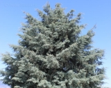Cupressus arizonica, Arizona-Zypresse