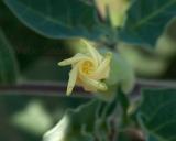 Datura innoxia, Jimsonweed