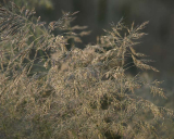 Deschampsia flexuosa, Wavy hair-grass