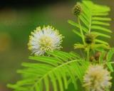 Desmanthus illinoensis, Prairie bundleflower
