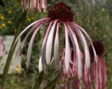 Echinacea pallida, Pale purple coneflower