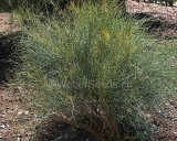 Ephedra fragilis, Ephedra