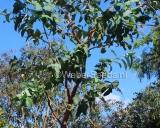 Eucalyptus globulus, Tasmanian Blue Gum