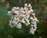 Fagopyrum esculentum, Buckwheat