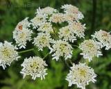 Heracleum sphondylium, Hogweed