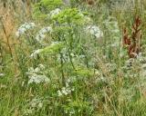 Heracleum sphondylium, Gewone berenklauw
