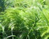 Hordeum murinum, Wall barley