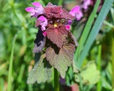 Lamium purpureum, Red dead-nettle