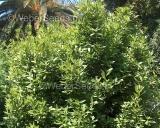 Laurus nobilis, Bay laurel