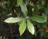 Laurus nobilis, Bay laurel