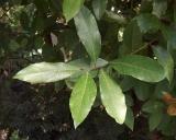 Laurus nobilis, Laurier