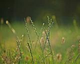 Lolium perenne, Deutsches Weidelgras