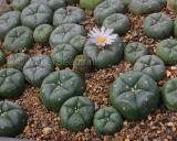 Lophophora williamsii Peyote plants