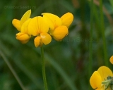 Lotus corniculatus, Bird's-foot trefoil